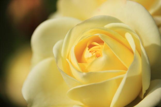 薔薇(クリーミーエデン?)