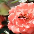 薔薇に蜂が