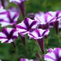 写真: 次々とよく咲きます