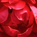 写真: 薔薇(ダブルノックアウト)