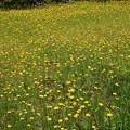写真: 黄色い花畑