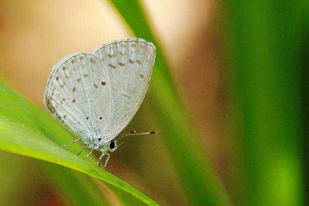 写真: シジミ蝶