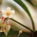 写真: マンリョウの花