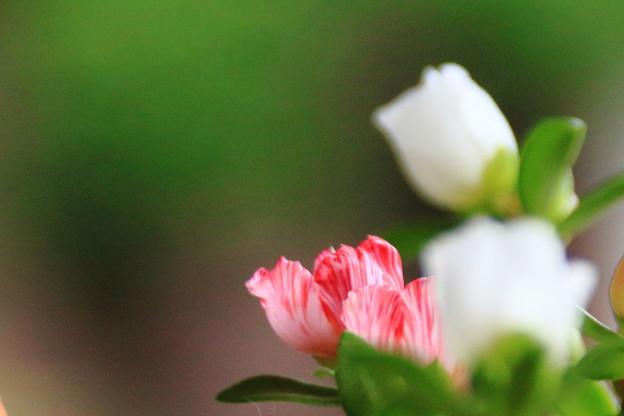 朝方の花スベリヒユ 2