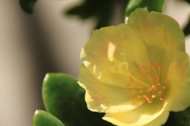 昼下りの花スベリヒユ 1