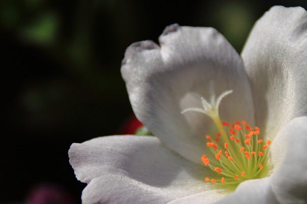 昼下りの花スベリヒユ 2