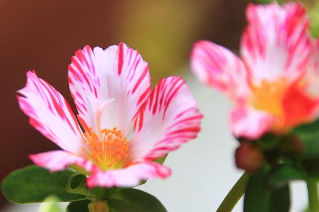 昼下りの花スベリヒユ 3