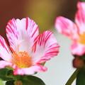 写真: 昼下りの花スベリヒユ 3