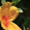 写真: 昼下りの花スベリヒユ 4
