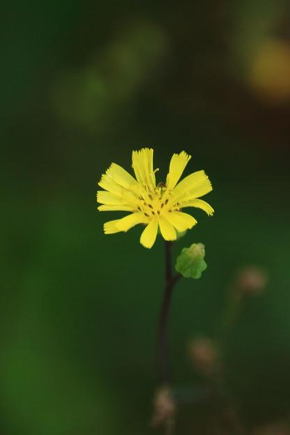 黄色い野草一輪