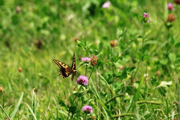 野に遊ぶ蝶々