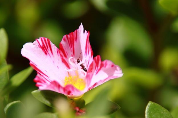 Photos: 蟻とハナスベリヒユ2