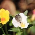 写真: シジミチョウとハナスベリヒユ1