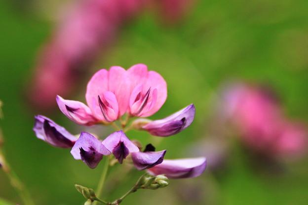 ピンクと紫