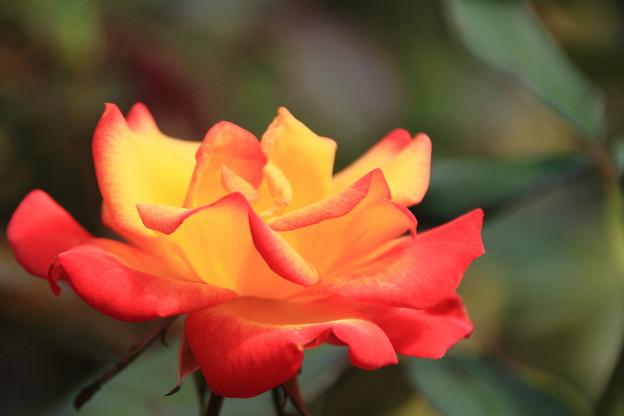 薔薇(チャールストン)