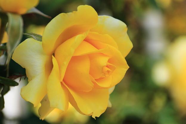 薔薇(ヘルムットシュミット)