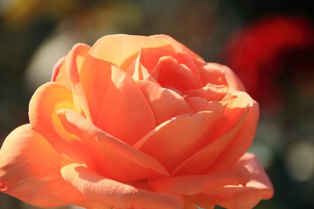 薔薇(夢)