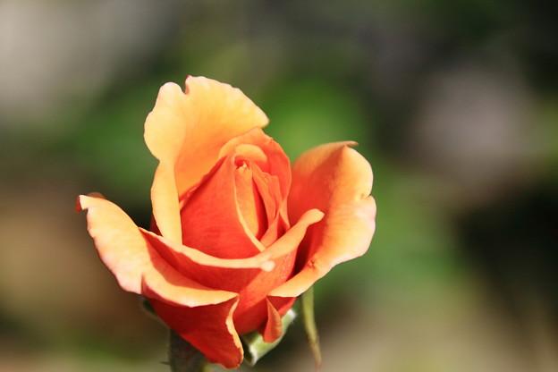 薔薇(ジュリア)