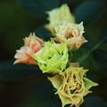 写真: 小さなバラ