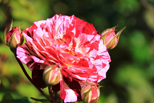薔薇(ベルデスピヌーズ)
