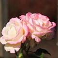 薔薇(魅惑)