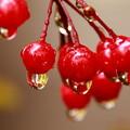 写真: 紅い実一つずつに雫