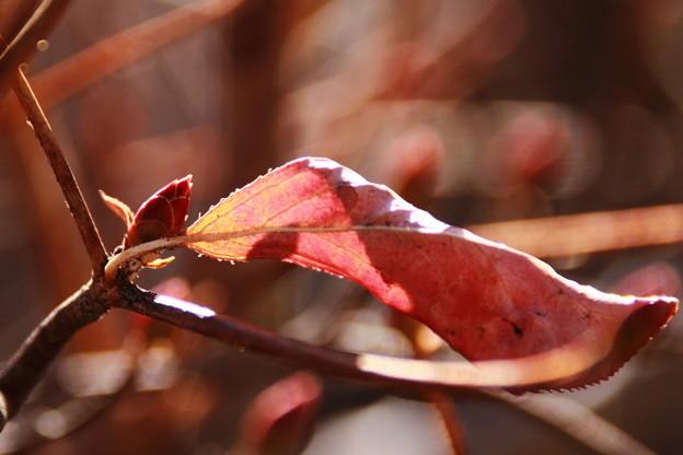 新芽と枯葉