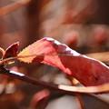 Photos: 新芽と枯葉
