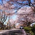 車道に散る花びら