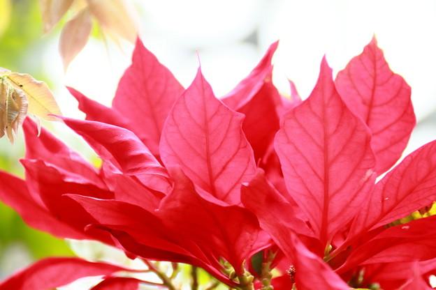 赤い花?葉?