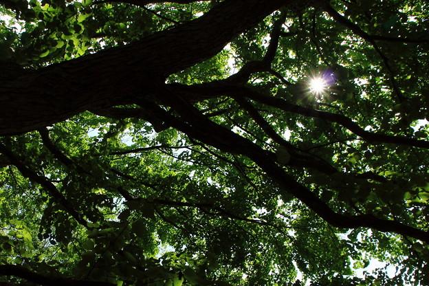 かつらの木