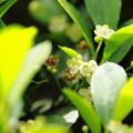 Photos: ツゲの花