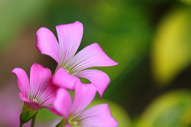 Photos: 紫カタバミ