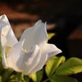 Photos: 白いハマナスの花