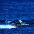 Photos: 遠くにアザラシの日光浴?