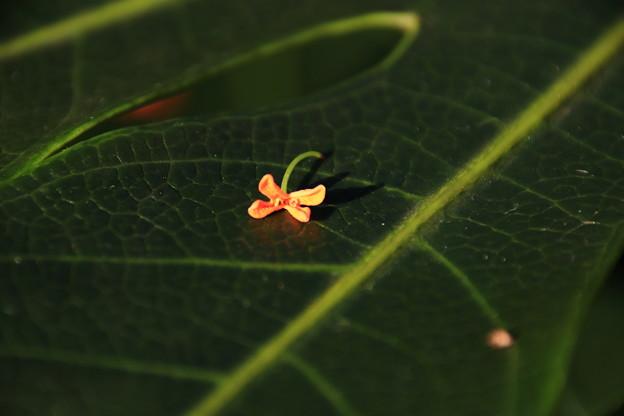 ヤツデの葉の上に 1
