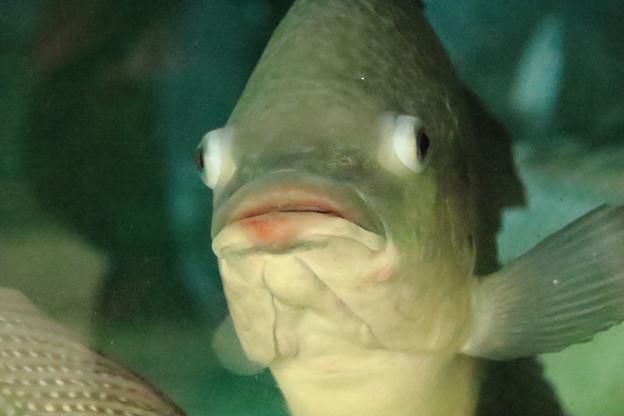 口紅を付けたお魚
