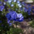 写真: ブルーの花