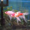 写真: 弥富の金魚。