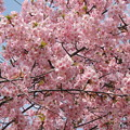 ぼちぼち桜の季節。