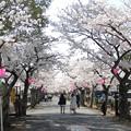 旭化成の桜並木。