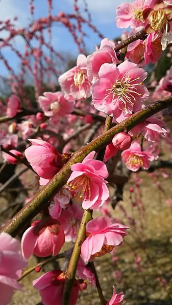 ピンクな梅。