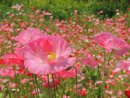 ひなげしの花(かな?)。