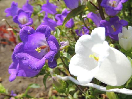 フウリンソウの花。