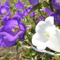 Photos: フウリンソウの花。