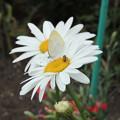 Photos: 花と蝶とミツバチと。