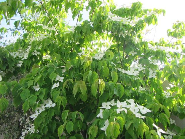 IMG_0739: 庭木のヤマボウシ