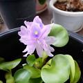 Photos: PA050079:ホテイアオイの花が咲いたよ