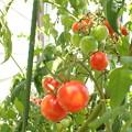 P8040818:ステイホームトマト