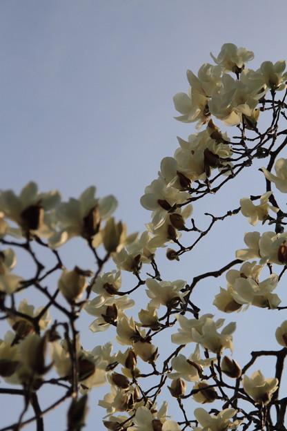 写真: コブシ 咲く